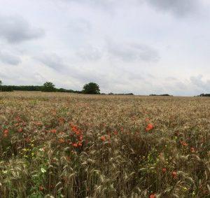 Wheat Field in Auvers-sur-Oise